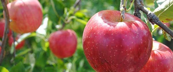 りんご発毛